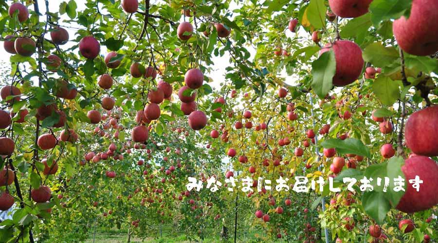 扇屋農園のりんご2