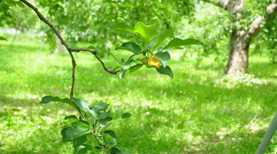 扇屋農園のりんごの花